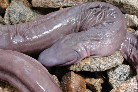 Trouser Snakes http://tumfweko.com/2012/08/02/snake-which-resembles-a-manhood-discovered-in-brazil-photo/