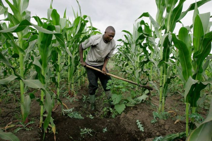 Farmers Urged Not To Abandon Maize Production